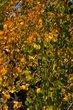 Golden Aspens    _D3C2209_1cc.jpg
