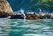 Harbor Seal    DSC_6057_1.jpg