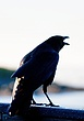Raven    _D3C7162_1cccr.jpg