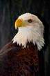 Bald Eagle    _DS72055_1cc.jpg