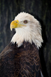 Bald Eagle    _DS72058_1cc.jpg