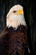 Bald Eagle    _DS72059_1cc.jpg