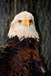 Bald Eagle    _DS72062_1cc.jpg