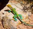 Collared Lizard    _DS78798_1cccr-30056.jpg