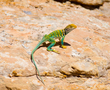 Collared Lizard    _DS78799_1cccr.jpg