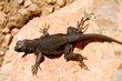 Desert Spiny Lizard    _DS78637_1cc.jpg