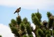 Red Tailed Hawk    _DS78558_1cc.jpg