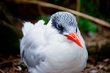 Royal Tern    _DS72039_1cc.jpg