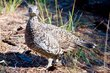 Sooty Grouse    _DS72738_1cc.jpg