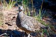 Sooty Grouse    _DS72741_1cc.jpg