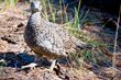Sooty Grouse    _DS72742_1cc.jpg