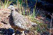 Sooty Grouse    _DS72743_1cc.jpg