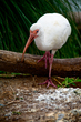 White Ibis    _DS72021_1cc.jpg