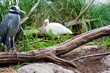 White Ibis and Black Crowned Night Heron    _DS72032_1cc.jpg