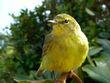 Yellow Warbler    DSCN2822e.jpg