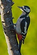 Great Spotted Woodpecker 1.jpg