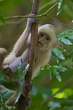 capuchin_monkey_001_trinidad.jpg