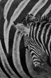 zebra_mother_foal.jpg
