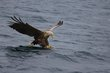 sea-eagle 82811.jpg