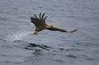 sea-eagle 82831.jpg
