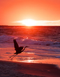 Flying Heron_SUNRISE_Gulf Shores AL_5676 (1).jpg