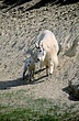 Mountain Goat 2424.jpg