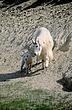 Mountain Goat 2424.jpg