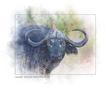 cape_buffalo_web.jpg
