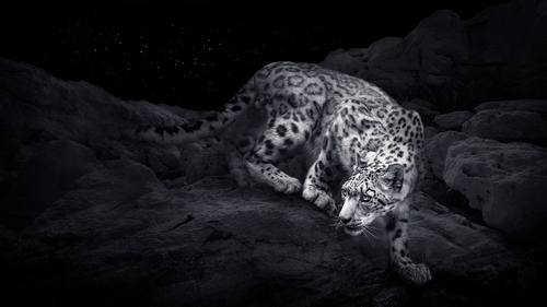 Snow Leopard - Starry night 2.jpg