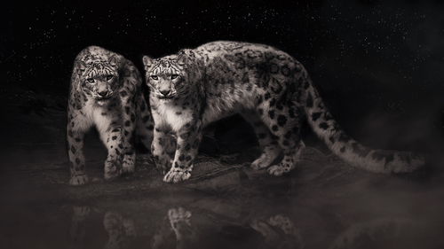 Snow Leopard - Starry night.jpg