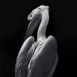 Pelican 3.jpg