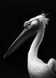 Pelican 7.jpg