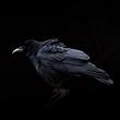 Raven crow 2.jpg