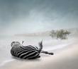 Zebra - Lying.jpg