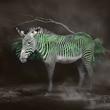 Zebra 22.jpg