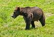 American-Black-Bear-3.jpg