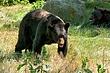 American-Black-Bear-5.jpg