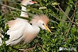 Cattle-Egret-2.jpg