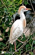 Cattle-Egret-3.jpg
