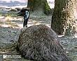 Emu-1.jpg