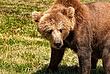 European-Brown-Bear-1.jpg