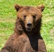 European-Brown-Bear-2.jpg