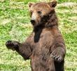 European-Brown-Bear-3.jpg