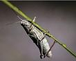 Grasshopper 060.jpg