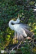 Great-Egret-1.jpg