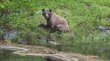 Grizzley Bear 2-1523.jpg
