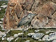 Heron-3.jpg