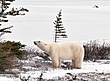 Polar-Bear--211-9.25x12-WEB.jpg