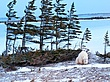 Polar-Bear--218-9.25x12-WEB.jpg