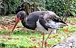 Red-Billed-Stork-1.jpg